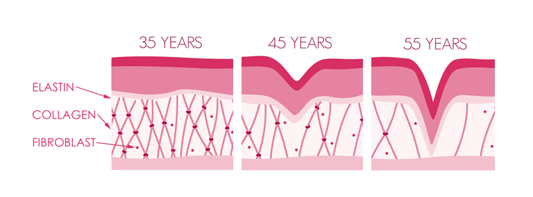 collagen and elastin aging
